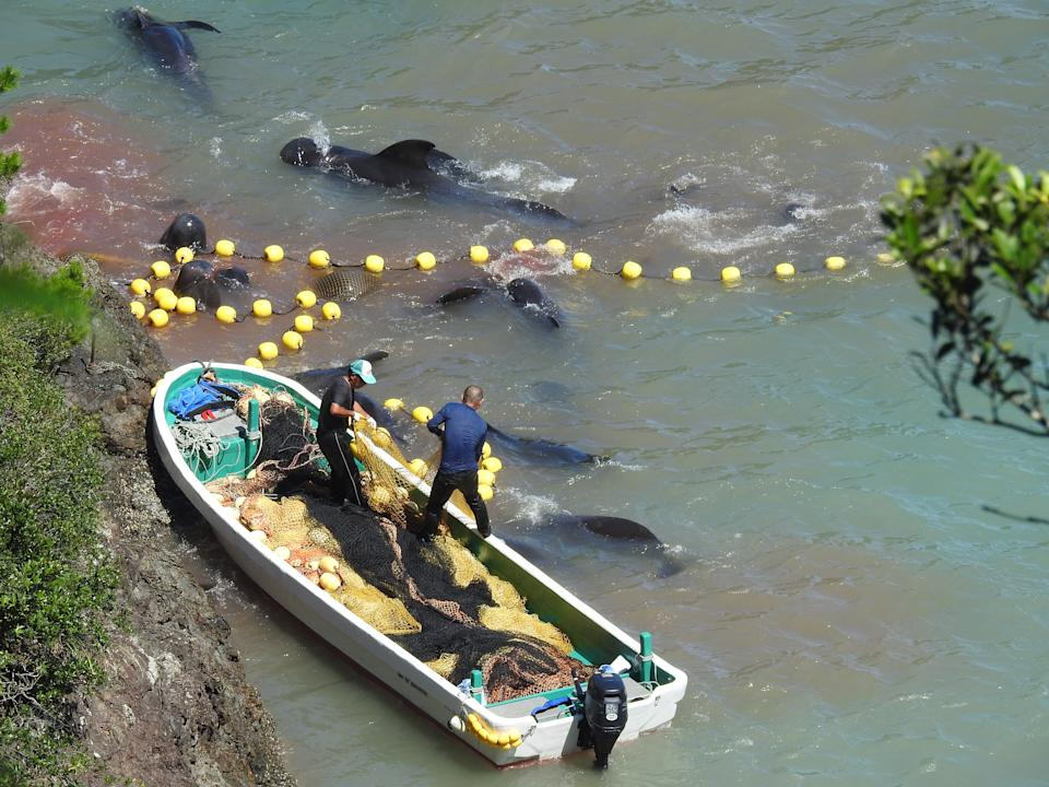 An activist video shows Japanese fishermen using a skiff to drive the pilot whales into a pen near Taiji. Source: Dolphinproject.com