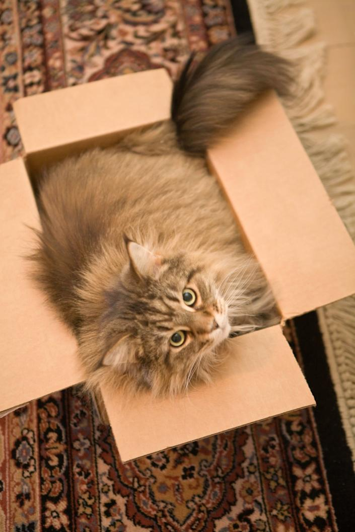 A Maine Coon cat squeezed in to a cardboard box.