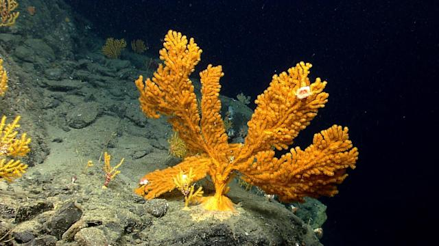 <p>An orange coral fan hosting tiny yellow anemones grows on a steep rock wall edge approximately 2,700 feet deep in Nygren Canyon. (Photo: NOAA Okeanos Explorer Program, 2013 Northeast U.S. Canyons Expedition Science Team) </p>