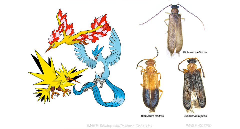 A PhD candidate named three beetles after Pokemon characters. Source: CSIRO