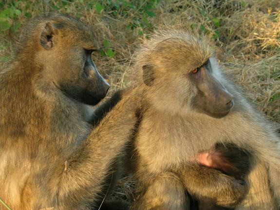 It Pays to Be a Nice Baboon