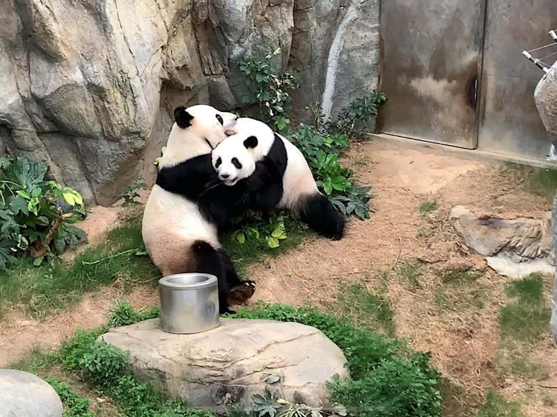 Giant pandas Ying Ying and Le Le have finally mated after ten years at Ocean Park in Hong Kong: Ocean Park Hong Kong/AFP via Get