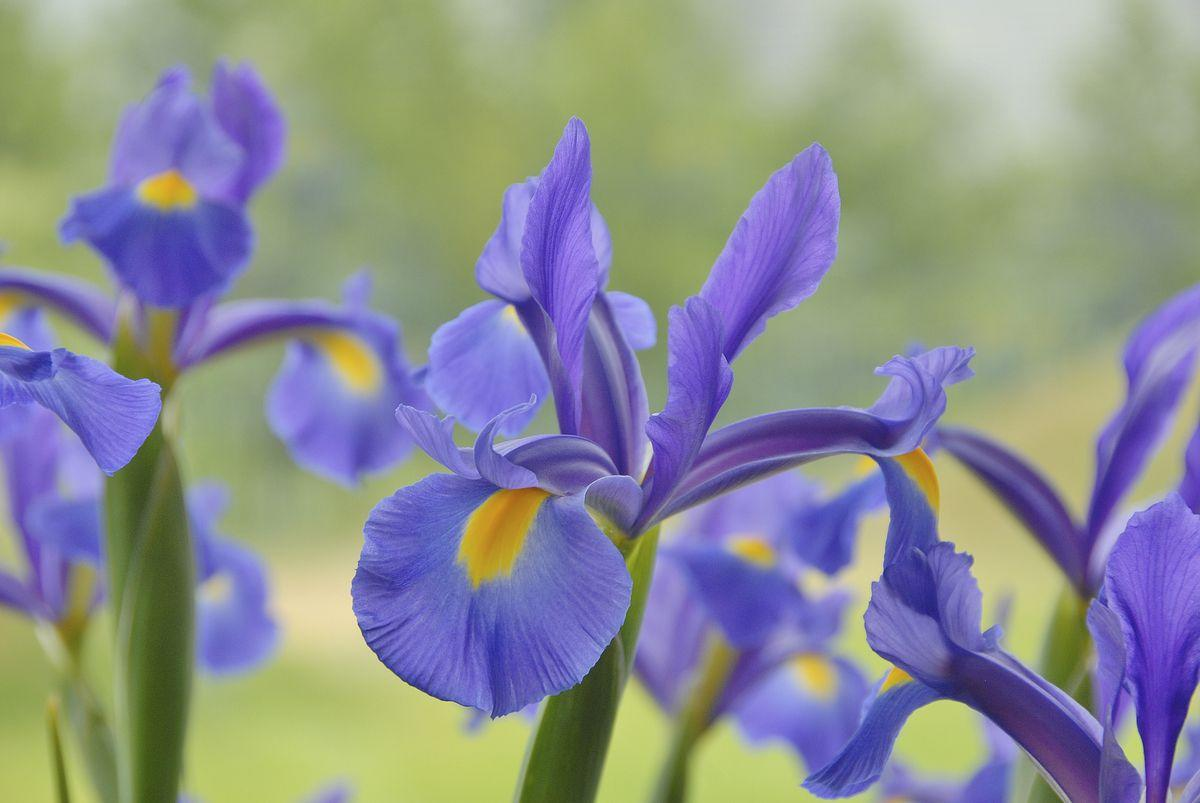 <p>The Iris is a bulbous plant with sword-like leaves and a single stem bearing one or two flowers.</p>