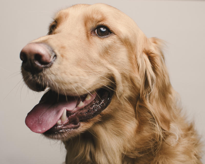 A golden retriever was killed after consuming almost a whole packet of a Hot Hands Hand Warmer. Source: File/Getty Images