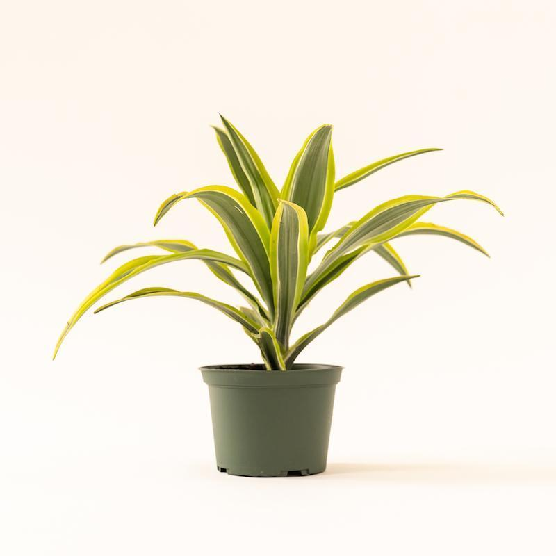 "<br><br><strong>Soil And Clay</strong> Dracaena - Warneckii Lemon Lime, $, available at <a href=""https://go.skimresources.com/?id=30283X879131&url=https%3A%2F%2Fsoilandclay.com%2Fcollections%2Fplants%2Fproducts%2Fdracaena-warneckii-lemon-lime"" rel=""nofollow noopener"" target=""_blank"" data-ylk=""slk:Soil And Clay"" class=""link rapid-noclick-resp"">Soil And Clay</a>"