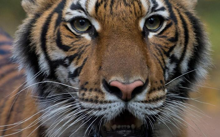 Tigers are being kept as pets in the UK - Reuters