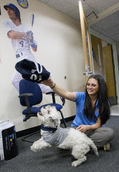 Brewers ticket office manager Brianna Tavilla plays with Hank, a stray dog that the Brewers recently found wandering their practice fields at Maryvale Baseball Park, on Friday, Feb. 21, 2014, in Phoenix. The team and staff have been taking care of Hank since he was found at the park on President's Day. Hank is named after Hank Aaron. (AP Photo/The Arizona Republic, Cheryl Evans) MARICOPA COUNTY OUT; MAGS OUT; NO SALES
