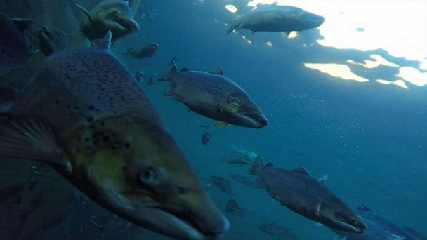 PHOTO: An organization is attempting to hunt down some of the hundreds of thousands of salmon that have escaped Norwegian breeding facilities this year. (Eurovision)
