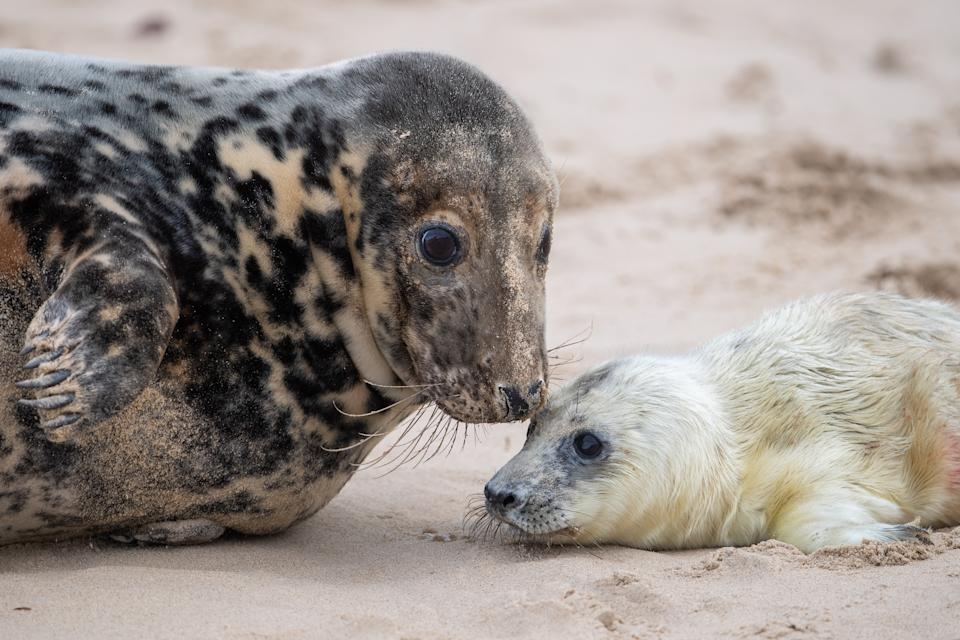 A grey seal with her newborn pup on the beach at Horsey in Norfolk, as the pupping season begins at one the UK's most important sites for the mammals. (Photo by Joe Giddens/PA Images via Getty Images)