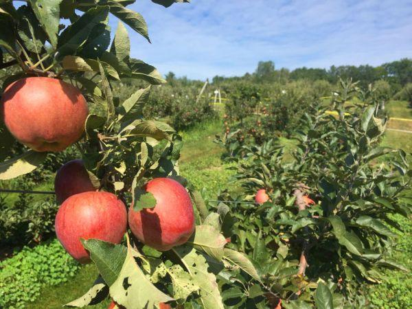 Apple Orchard In Canada