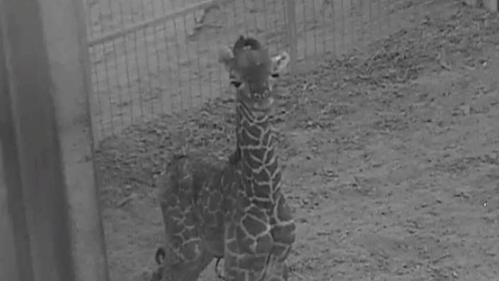 The Masai giraffe calf at Columbus Zoo isn't ready for visitors just yet, but keepers say the little one is walking and nursing. (Photo: Grahm S. Jones, Columbus Zoo and Aquarium)