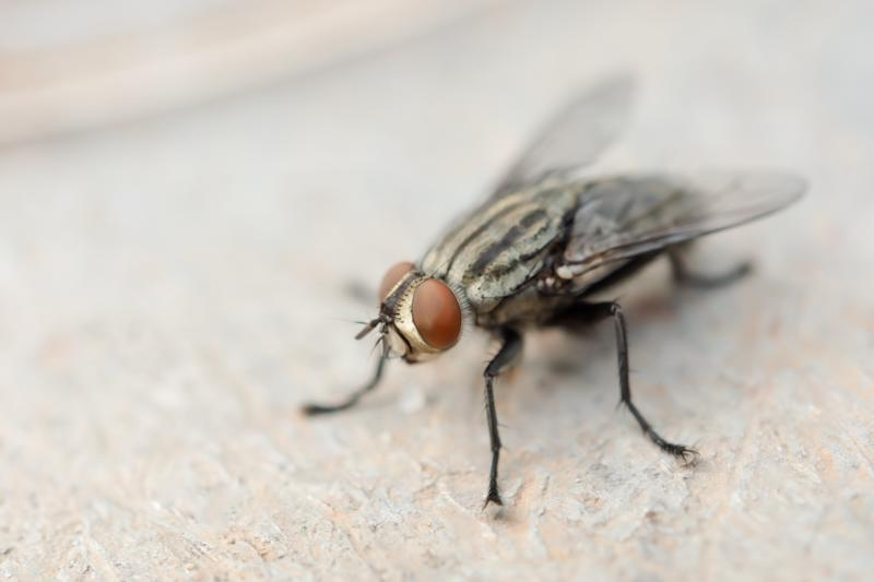 Macro shot of fly. Live house fly