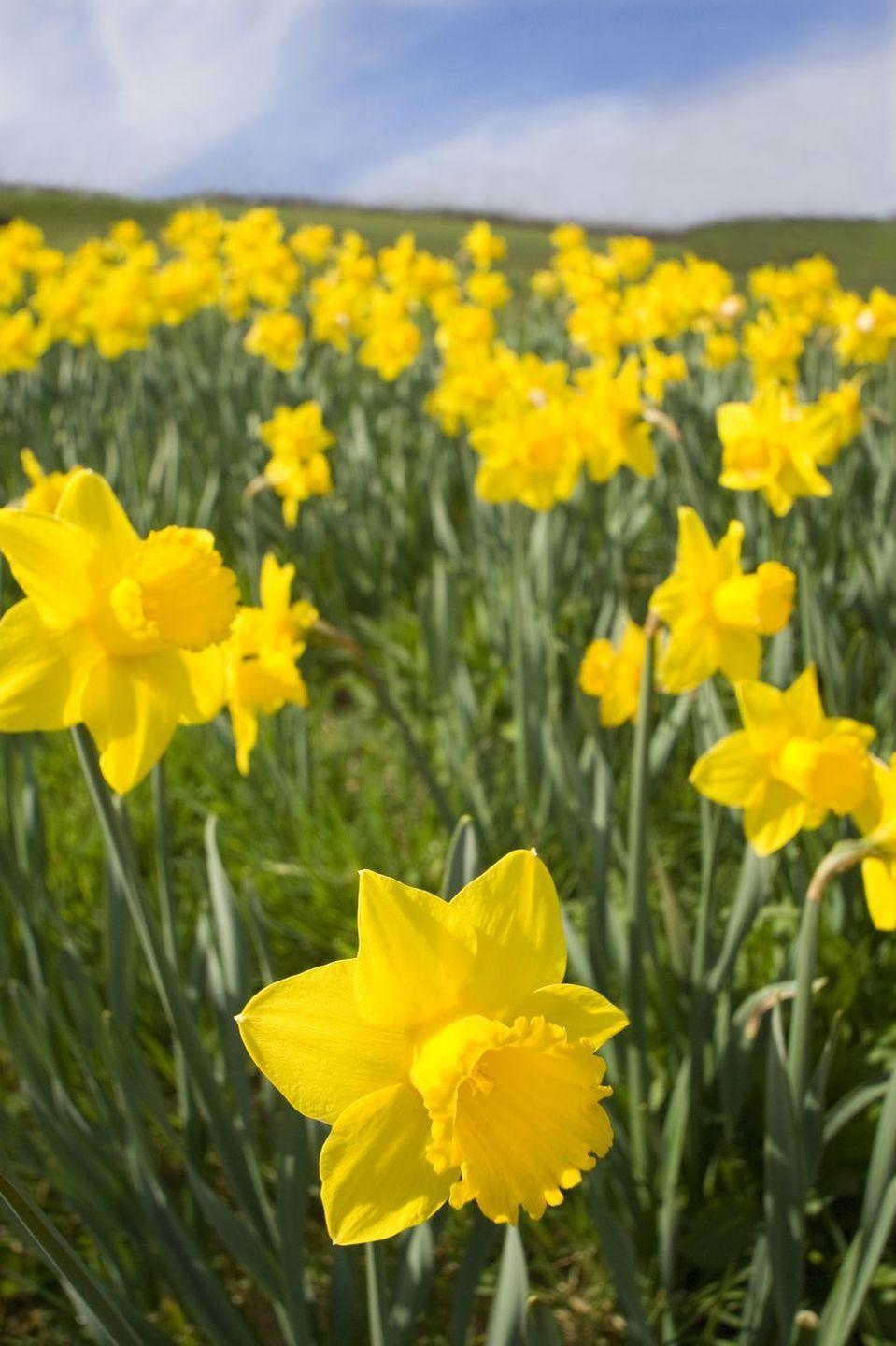 """<p>Gift these cheery yellow blooms to someone celebrating a new job, a new home, or a new addition to their family. Daffodils symbolize """"new beginnings,"""" so they couldn't be more perfect for any of these occasions. </p>"""