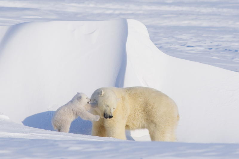 <em> Shell did not mention polar bears in its announcement Monday that it was stopping Arctic oil and gas exploration. (Photo by Steven Kazlowski / Barcroft Media / Getty Images)</em>