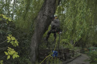 Pruner goes down a tree after cutting branches in the Japanese-inspired water garden of Claude Monet's house, French impressionist painter who lived from 1883 to 1926, ahead of the re-opening, in Giverny, west of Paris, Monday May 17, 2021. Lucky visitors who'll be allowed back into Claude Monet's house and gardens for the first time in over six months from Wednesday will be treated to a riot of color, with tulips, peonies, forget-me-nots and an array of other flowers all competing for attention. (AP Photo/Francois Mori)