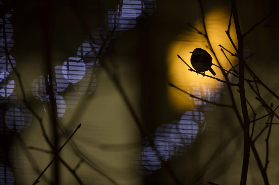 """<p>The winners of the British Wildlife Photography Awards have been announced, with Daniel Trim taking the overall prize for his image 'Heathrow Roostings' of a Pied Wagtail at Heathrow airport [Picture: Daniel Trim/<a href=""""http://www.bwpawards.org"""" rel=""""nofollow noopener"""" target=""""_blank"""" data-ylk=""""slk:www.bwpawards.org"""" class=""""link rapid-noclick-resp"""">www.bwpawards.org</a>] </p>"""