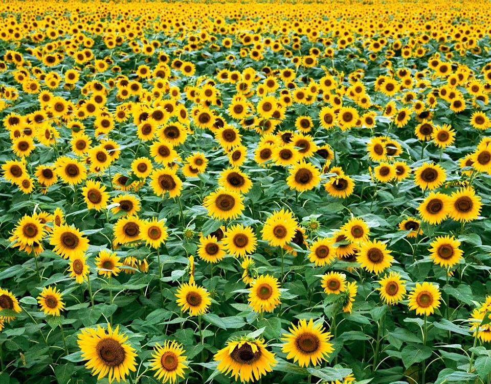 """<p>Bring the kids along to this family-friendly sunflower farm, which features hayrides, pig races, a petting zoo, and more activities for youngsters. You can plan your trip around <a href=""""http://coppercreekfarm.com/sunflower.html"""" rel=""""nofollow noopener"""" target=""""_blank"""" data-ylk=""""slk:Copper Creek Farm's"""" class=""""link rapid-noclick-resp"""">Copper Creek Farm's</a> annual Sunflower Festival, which typically kicks off in mid-June and runs through mid-July, or stop by the <a href=""""https://go.redirectingat.com?id=74968X1596630&url=https%3A%2F%2Fwww.tripadvisor.com%2FTourism-g34812-Calhoun_Georgia-Vacations.html&sref=https%3A%2F%2Fwww.countryliving.com%2Flife%2Ftravel%2Fg21937858%2Fsunflower-fields-near-me%2F"""" rel=""""nofollow noopener"""" target=""""_blank"""" data-ylk=""""slk:Calhoun, Georgia"""" class=""""link rapid-noclick-resp"""">Calhoun, Georgia</a>, destination any time for some farm fun.</p><p><a class=""""link rapid-noclick-resp"""" href=""""https://go.redirectingat.com?id=74968X1596630&url=https%3A%2F%2Fwww.tripadvisor.com%2FAttraction_Review-g34812-d7900999-Reviews-Copper_Creek_Farm-Calhoun_Georgia.html&sref=https%3A%2F%2Fwww.countryliving.com%2Flife%2Ftravel%2Fg21937858%2Fsunflower-fields-near-me%2F"""" rel=""""nofollow noopener"""" target=""""_blank"""" data-ylk=""""slk:PLAN YOUR TRIP"""">PLAN YOUR TRIP</a></p>"""