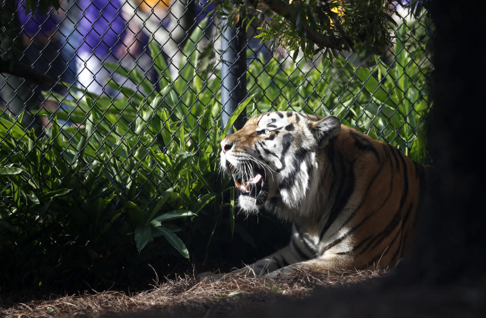 In this Oct. 17, 2015, file photo, Mike VI, LSU's tiger mascot rests in his habitat before a game against Florida. (AP)