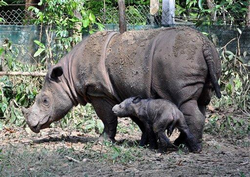 A female Sumatran rhino named Ratu, right, is seen with her newly-born calf at Way Kambas National Park in Lampung, Indonesia, Monday, June 25, 2012. Ratu, a highly endangered Sumatran rhinoceros, gave birth to the calf Saturday in western Indonesia, a forestry official said. It is only the fifth known birth in captivity for the species in 123 years. (AP Photo)