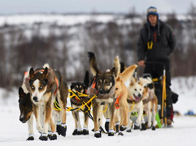 The Iditarod requires dogs to pull a sled for 1,000 miles in the middle of an Alaska winter. (AP)