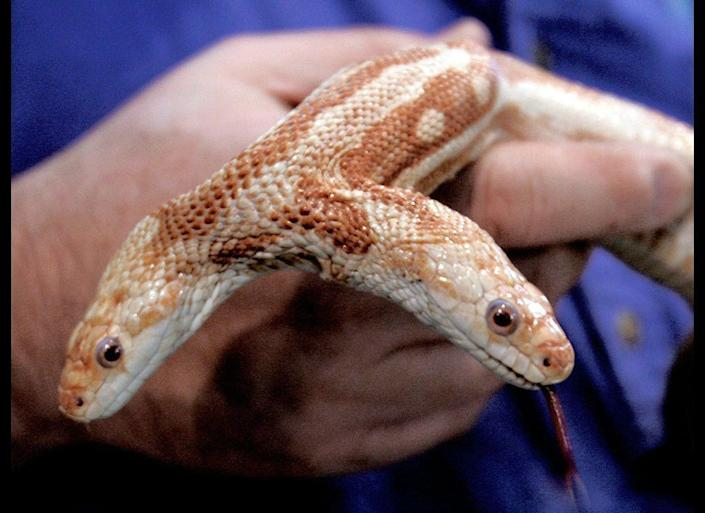 We, a two-headed hermaphroditic rat snake, lived at the World Aquarium in St. Louis for 8 1/2 years before dying in June of 2007. In 2006, the aquarium unsuccessfully attempted to mate it with another two-headed snake.