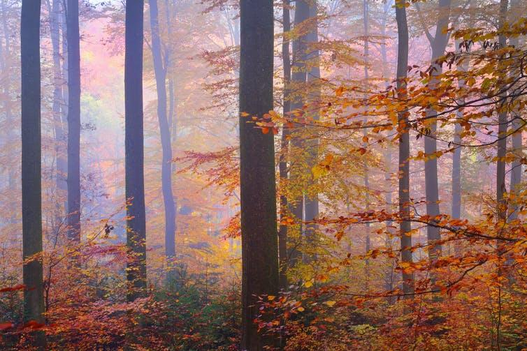 A misty forest with trees displaying autumn colours.