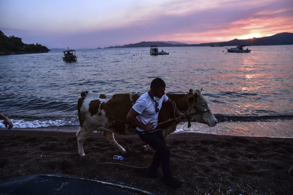 A man leaves with his cow as advancing fires rage Hisaronu area, Turkey, Monday, Aug. 2, 2021. For the sixth straight day, Turkish firefighters battled Monday to control the blazes that are tearing through forests near Turkey's beach destinations. Fed by strong winds and scorching temperatures, the fires that began Wednesday have left eight people dead. Residents and tourists have fled vacation resorts in flotillas of small boats or convoys of cars and trucks. (AP Photo)