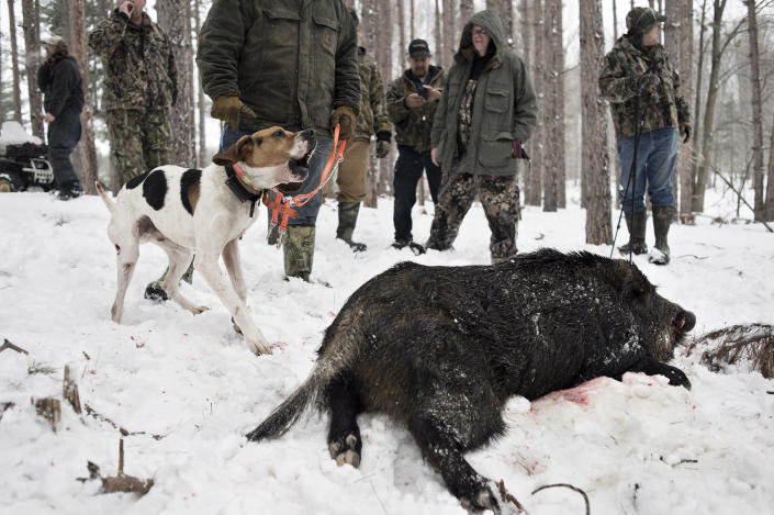 A hound dog barks after hunters found a Russian wild boar they shot at the Renegade Ranch Hunting Preserve in Cheboygan, Mich., April 12, 2013. (Sean Proctor/The New York Times)