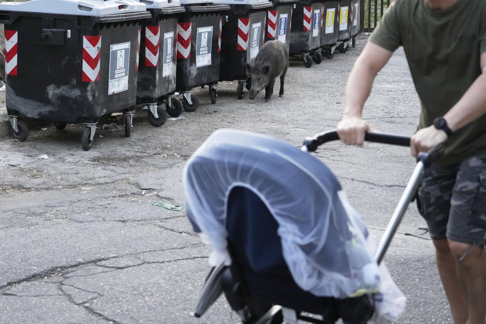 A man pushes a baby stroller past a wild boar sniffing past trash bins in Rome, Friday, Sept. 24, 2021. They have become a daily sight in Rome, families of wild boars trotting down the city streets, sticking their snouts in the garbage looking for food. Rome's overflowing rubbish bins have been a magnet for the families of boars who emerge from the extensive parks surrounding the city to roam the streets scavenging for food. (AP Photo/Gregorio Borgia)