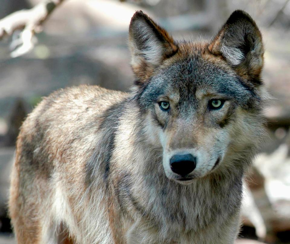 Wisconsin wildlife officials opened an abbreviated wolf season on Feb. 22, 2021, complying with a court order to start the hunt immediately rather than wait until November. (Photo: Dawn Villella/AP)