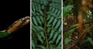 The photo collage shows cute Reeve's Muntjac seen at Wulai (right), The Atayal Slug Snake (left). (Courtesy of Ryan Hevern)
