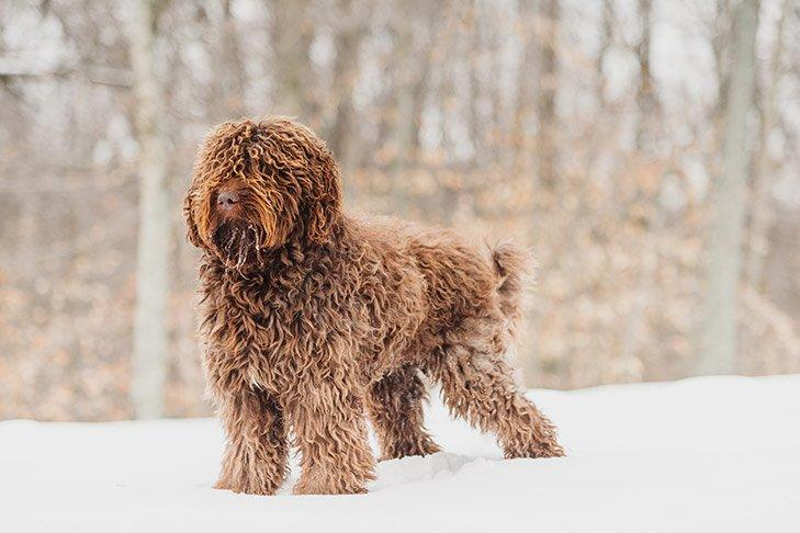The American Kennel Club Just Announced Two New Dog Breeds