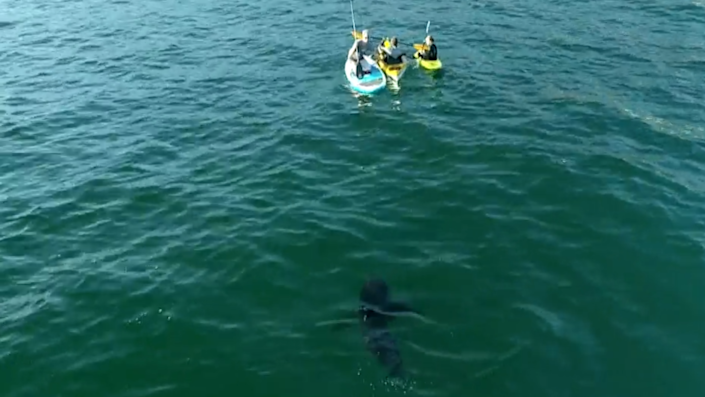 One of Gauna's videos shows a great white shark calmly approaching a family. / Credit: Carlos Gauna