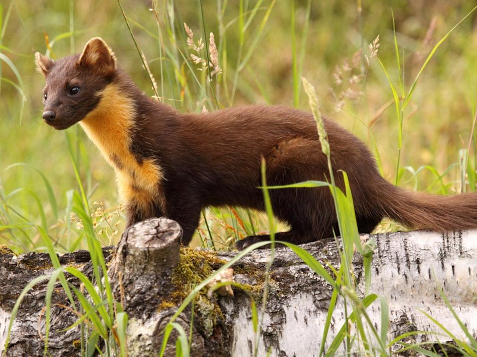 The future is looking bright for pine martens which are being brought back to their former strongholds in the UK where it is hoped they will reduce numbers of grey squirrels and protect ancient woodlands: Getty