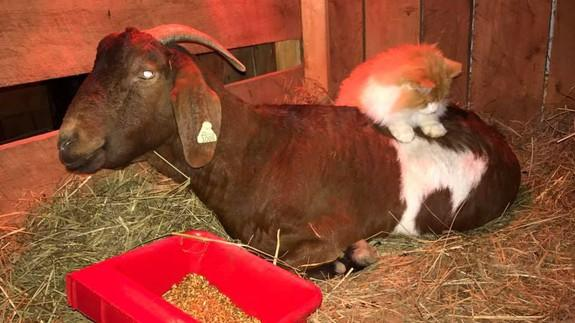 Cat named Pretty Boy is a caring midwife for a lucky, pregnant goat