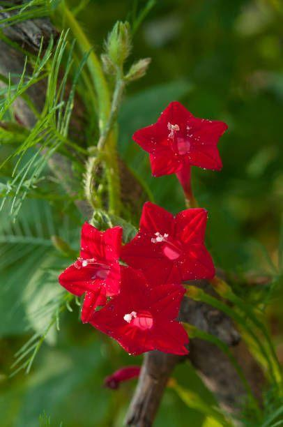 """<p>This beautiful fast-climbing annual is a hummingbird magnet! With delicate tubular flowers in red, pink, or apricot and feathery foliage, it is lovely on a trellis or arbor in full sun. </p><p><a class=""""link rapid-noclick-resp"""" href=""""https://go.redirectingat.com?id=74968X1596630&url=https%3A%2F%2Fwww.burpee.com%2Fflowers%2Fcypress-vine%2Fcypress-vine-red-prod000186.html&sref=https%3A%2F%2Fwww.countryliving.com%2Fgardening%2Fgarden-ideas%2Fadvice%2Fg1456%2Ffast-growing-vines%2F"""" rel=""""nofollow noopener"""" target=""""_blank"""" data-ylk=""""slk:SHOP CYPRESS VINES"""">SHOP CYPRESS VINES</a></p>"""