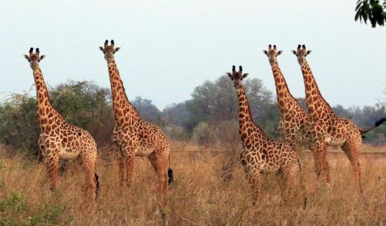 Find giraffes in South Luangwa (Will Whitford)