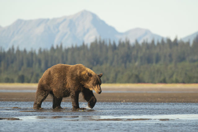 A large sow brown bear (Ursus arctos) walks across the delta at the mouth of the Sargent River in Lake Clark National Park. She has one paw held up and curled as she is midstep and mountains can be seen in the background.