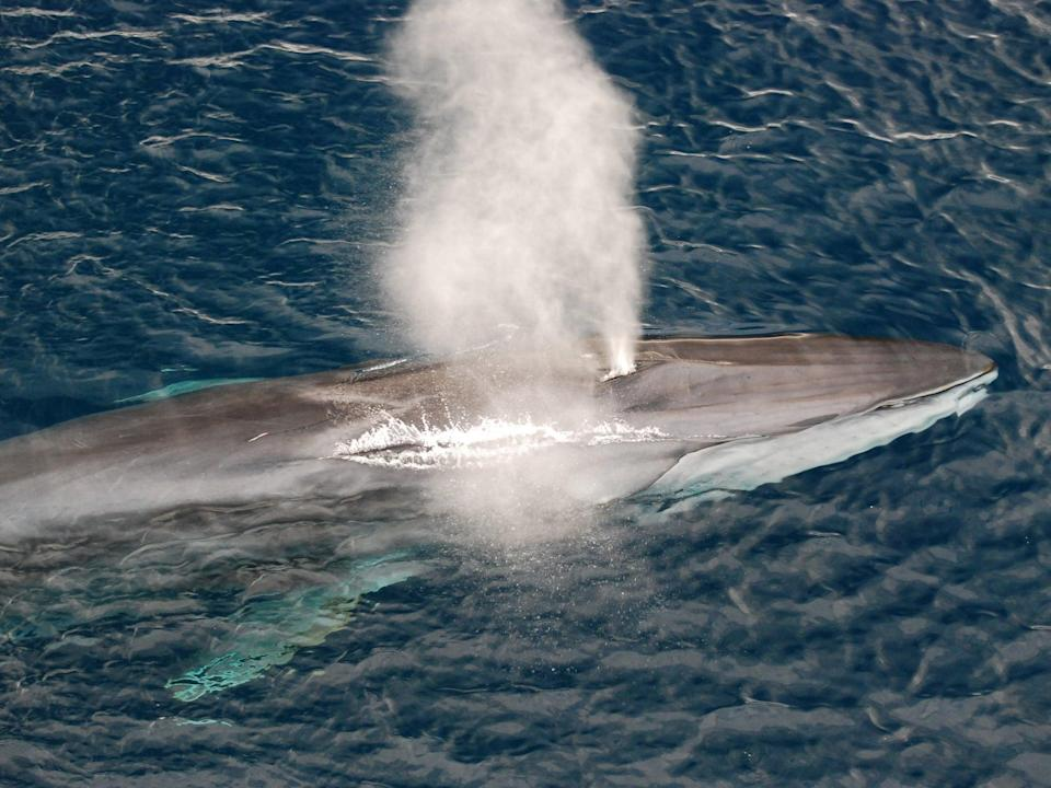 The second largest animal on the planet, the fin whale, also has one of the lowest singing voices. Scientists now know distinct groups of fin whales can trade vocalisation patterns (Getty Images/iStockphoto)