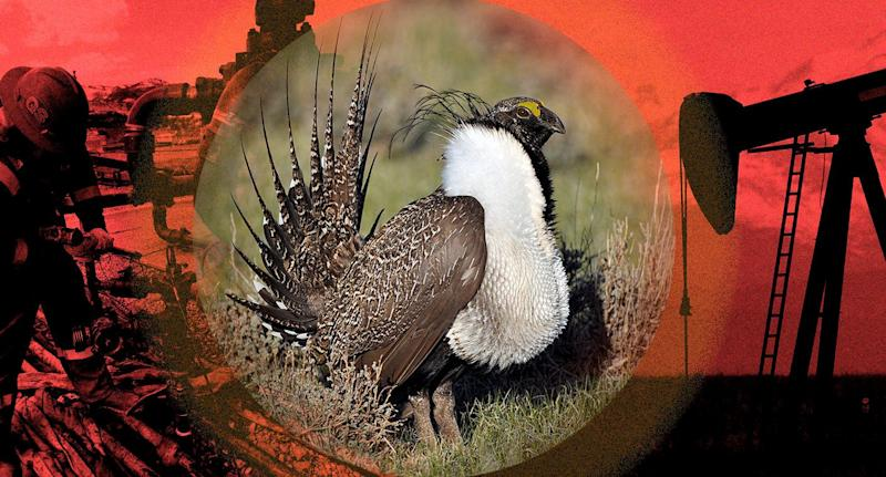 A male sage grouse and fossil fuel drilling in Colorado. (Photo illustration: Yahoo News; photos: Brennan Linsley/AP, Jeannie Stafford/U.S. Fish and Wildlife Service via AP, David Zalubowski/AP)