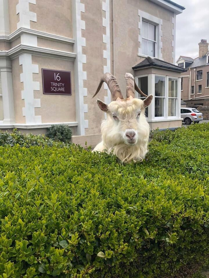 One of the goats resting in a hedge. (Wales News)