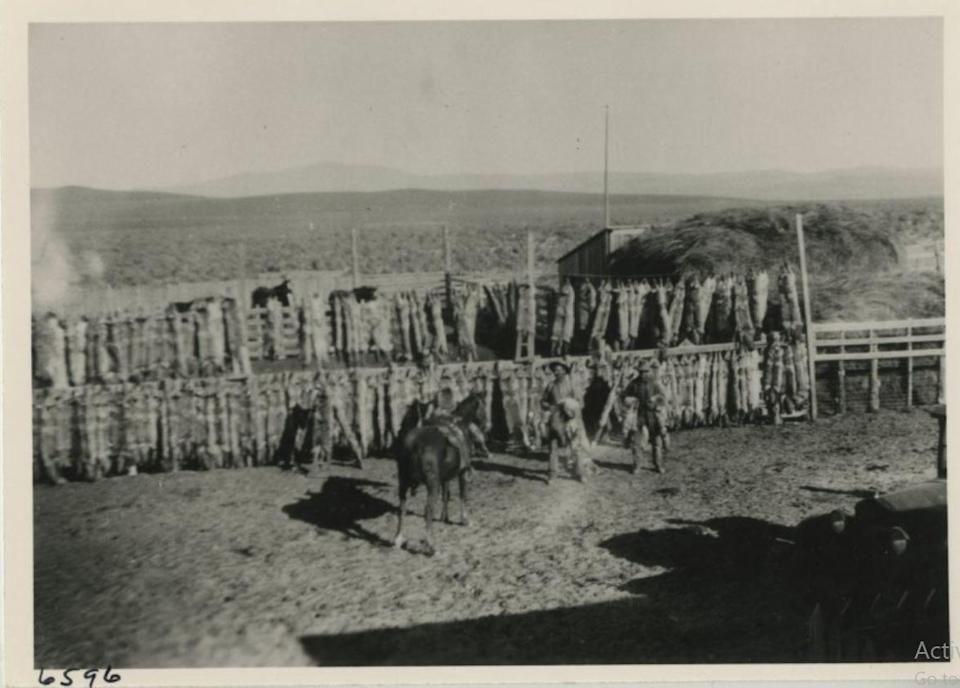 Coyote skins are seen drying in the early 1900s in this photo preserved by the Nevada Historical Society.