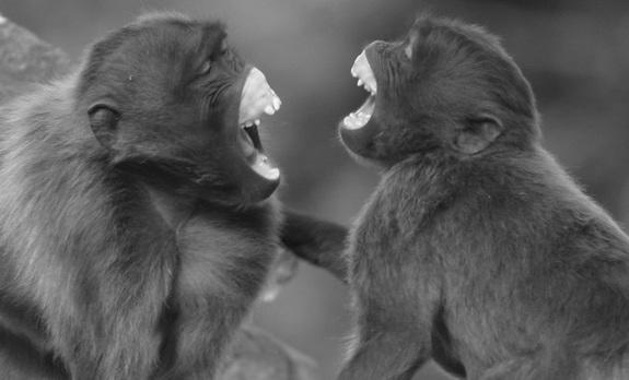 Monkey See Monkey Do: Geladas Mimic Faces