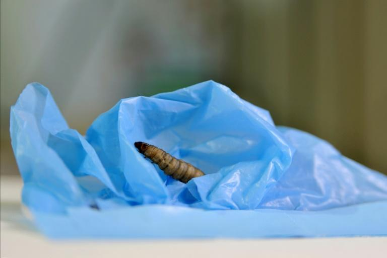 A handout picture released by the Spanish National Research Council (CSIC) shows a moth caterpillar on a plastic bag during a scientific experiment in Santander on April 17, 2017