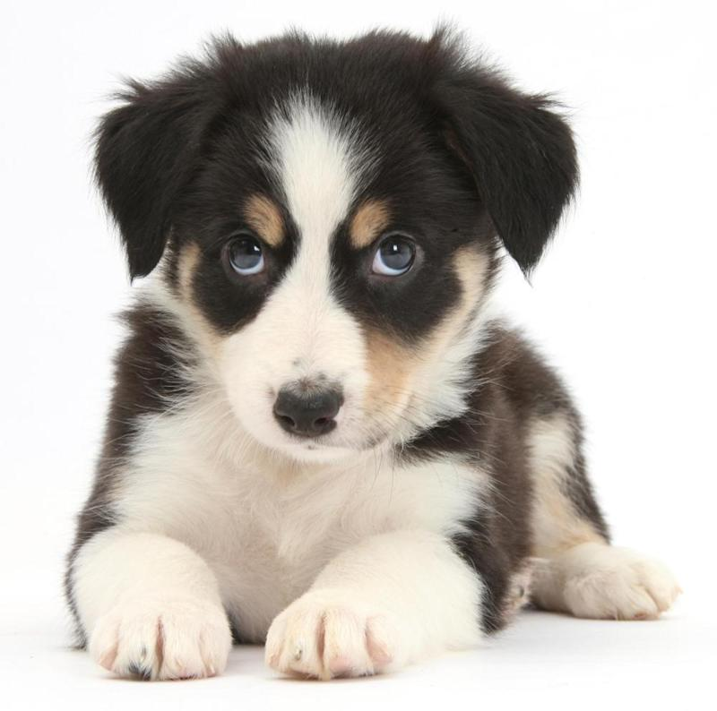 Tricolour Border Collie puppy on a white background.