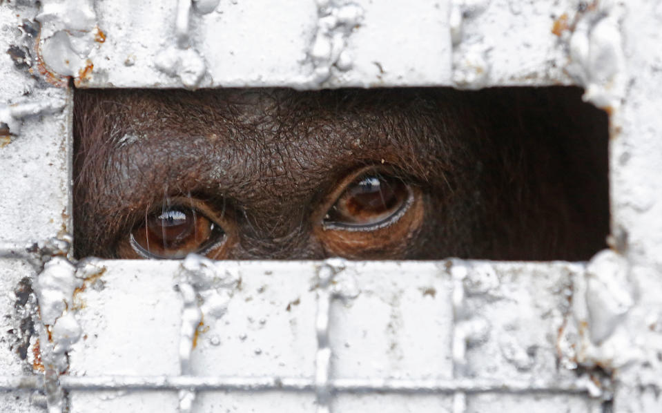 FILE - In this Nov. 12, 2015, file photo, one of fourteen orangutans waits in a cage to be sent back to Indonesia at a military airport in Bangkok, Thailand. Thailand's anti-money laundering authorities said Thursday they have seized or frozen more than 330 million baht ($11 million) in assets in a sting operation against a suspected wildlife trafficking ring. (AP Photo/Sakchai Lalit, File)