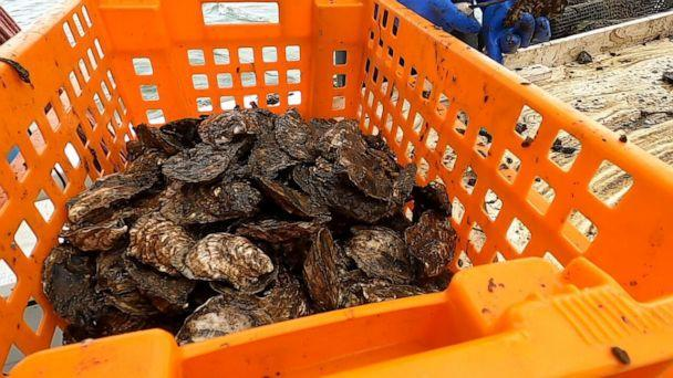 PHOTO: Oysters are stacked on the The Gino Macchio Foundation processing barge in New York Harbor on May 26, 2021. (ABC News)