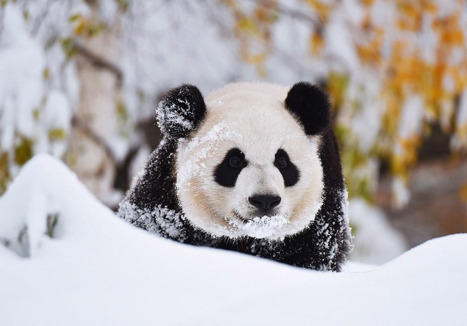 <p>Here's panda Yueyue frolicking in the winter wonderland that was the Calgary Zoo on Tuesday.<br />(Photo from The Canadian Press) </p>