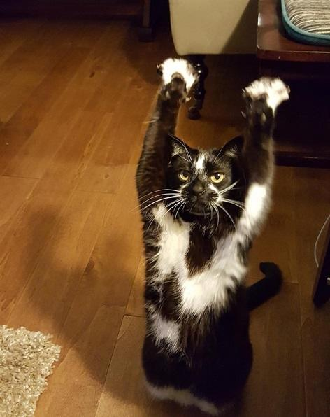 So, this adorable cat keeps putting its arms in the air and no one knows why but it's the best thing ever