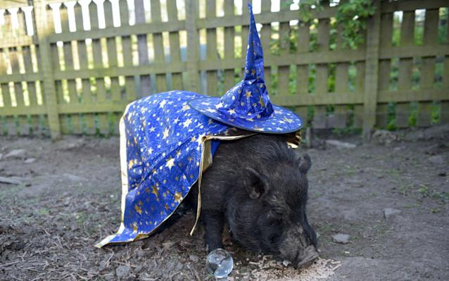 "The unscripted drama of a World Cup just wouldn't be complete without the sideshow of a psychic animal making bold predictions about the outcome, and this year, a mystic micro pig from Britain has stepped into the spotlight. Mystic Marcus, a micro pig from a farm in Heage, Derbyshire, has ignored the favourites for the competition now under way in Russia, and plucked for Argentina, Belgium, Nigeria and Uruguay to make the final four. The micro pig, sporting a wizard's hat and cape, made the prediction by eating four apples with the colourful flags of each of his selected countries attached to a wooden cocktail stick. Marcus has earned a reputation for making correct predictions, according to the BBC, having previously prophesied the result of the 2014 World Cup, the Wimbledon tennis men's finals, the Brexit vote and Donald Trump's shock US election victory in 2016. The piggy prophet's owner Juliette Stevens, who breeds micro pigs for a living on her 22-acre family-run farm, said there has been huge interest in the animal's World Cup predictions. The pig predicted Argentina, Uruguay, Nigeria and Belgium to progress to the semi-finals Credit: Michael Scott/Mercury Press ""I'm now inundated with messages from around the world from people asking me to arrange for Marcus to predict all sorts of things,"" she explained. ""Lottery numbers, election results, sports results, horse races. Very funny."" Aside from making predictions, Ms Stevens previously said Marcus has a ""lovely chilled out personality"" and has ""produced some lovely piglets"". She added: ""I love micro pigs because they are so intelligent and so cute and sweet. In my view they are by far the most amazing pets you could wish to own."" World Cup 2018 